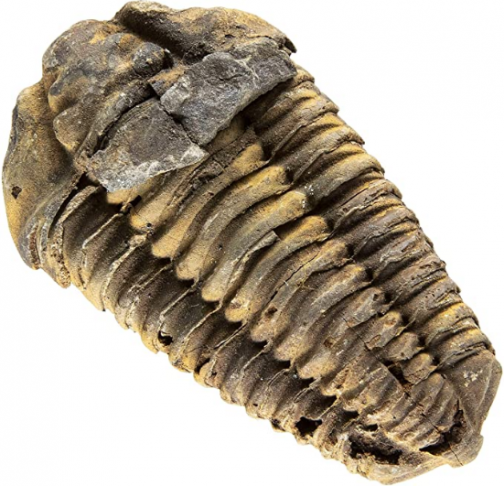 KALIFANO Authentic Large Arthropod Trilobite Fossil from Morocco - Marine Trilobita/Calymene for Fossil Collections and Education Purposes (Information Card Included)