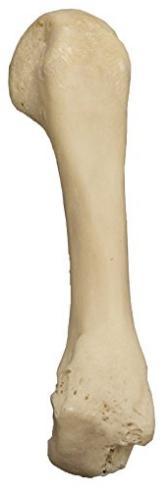 Real Human Finger Bones -Metacarpal (Natural Bone)